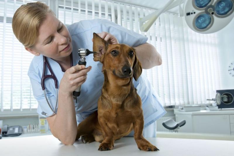 Последствия после лечения пироплазмоза у собак