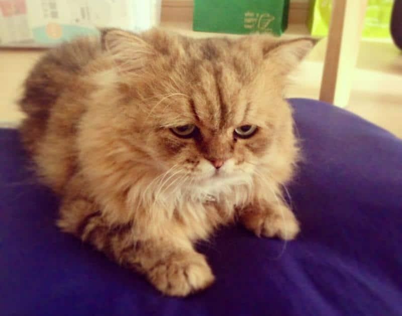 Заболевание пироплазмоз (бабезиоз) у кошек