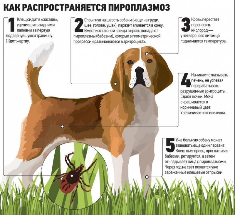пироплазмоз у собак последствия после лечения
