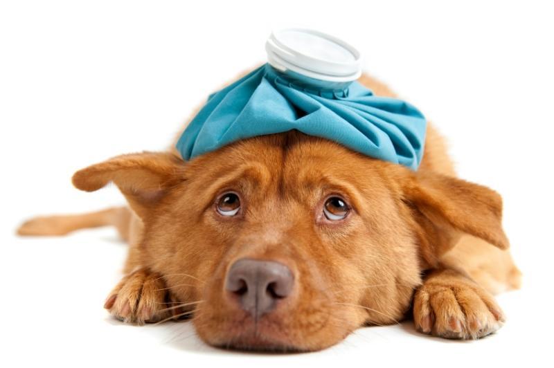 Лечение пироплазмоза у собаки в домашних условиях