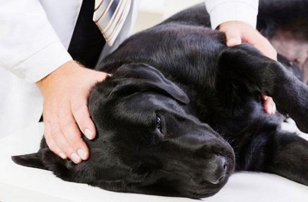 препарат иммуноглобулинов собака стафилококк