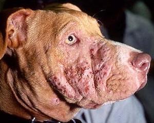 признаки стафилококка у собак