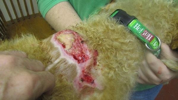 Золотистий стафілокок у собак: симптоми і ознаки фото » журнал здоров'я iHealth 1