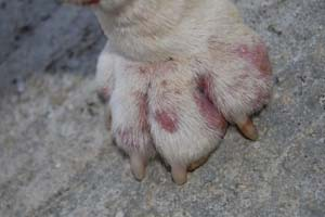 Золотистий стафілокок у собак: симптоми і ознаки фото » журнал здоров'я iHealth 4