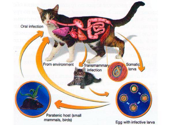 токсокары у кошек фото