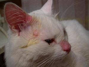 Лечение стафилококка у кота