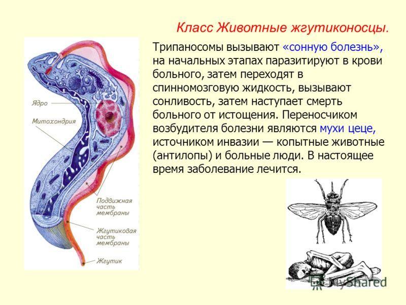 какой организм вызывает сонную болезнь
