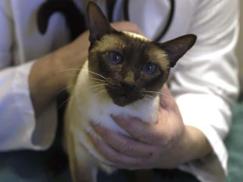 лечение изоспороза у кошек