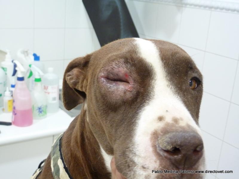 лейшманиоз у собак симптомы