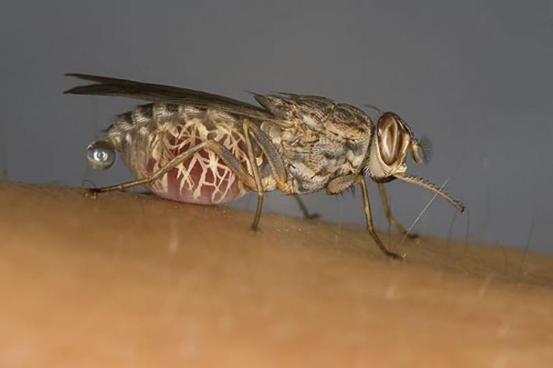 переносчик сонной болезни муха цеце