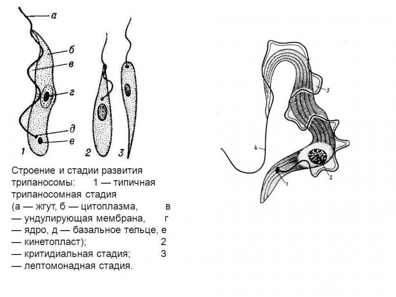 Что такое трипаносомы?