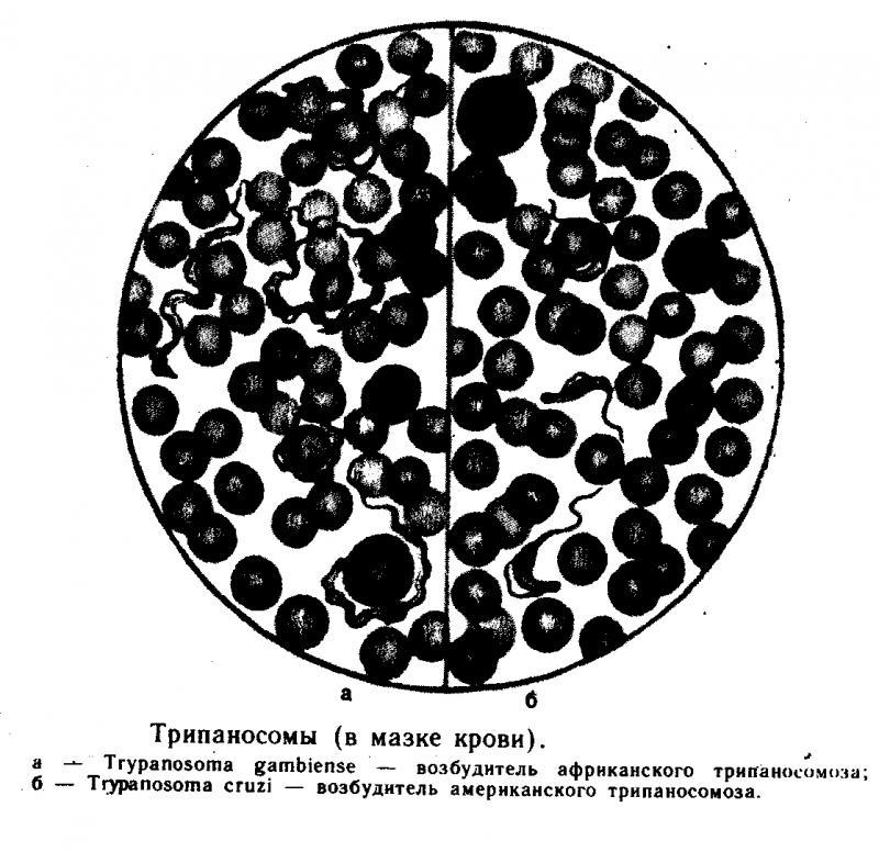 Классификация трипаносом