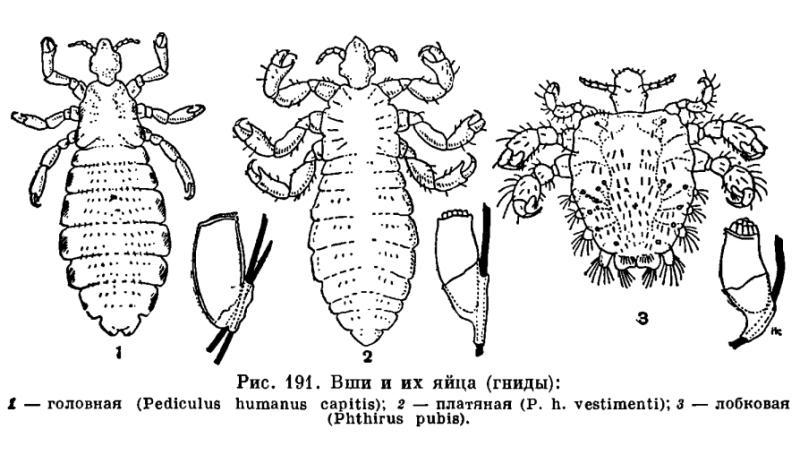 виды паразитов в человеке фото с названиями