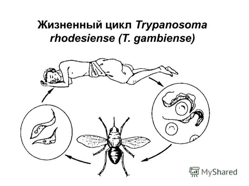жизненный цикл трипаносомы схема