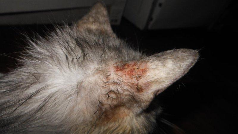 чесотка у кошек фото признаки и лечение