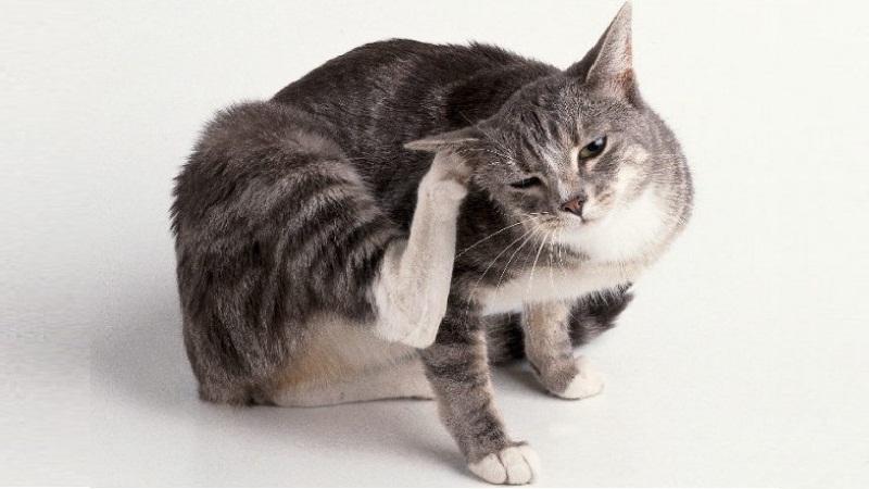 чесотка у кошек симптомы фото первые признаки