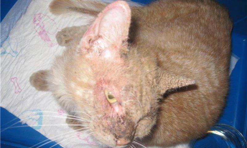 чесотка у кота симптомы