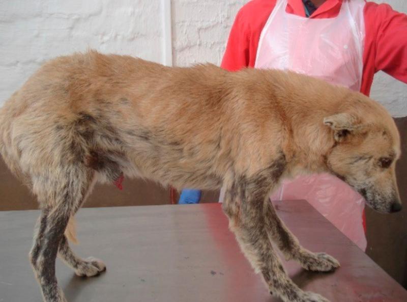 Демодекоз у собак : причины, симптомы, диагностика, лечение