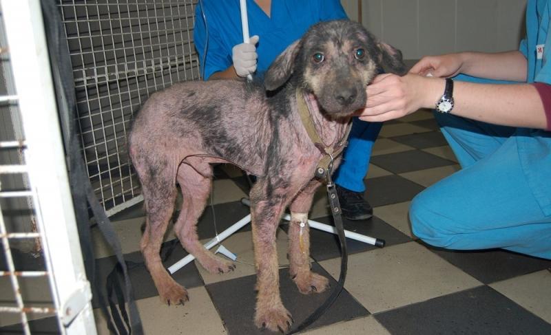демодекоз у собак заразен для собак