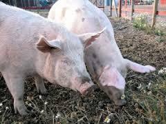 можно ли есть мясо глисты у свиней симптомы и лечение
