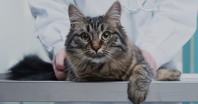 Заболевание кокцидиоз у кошек