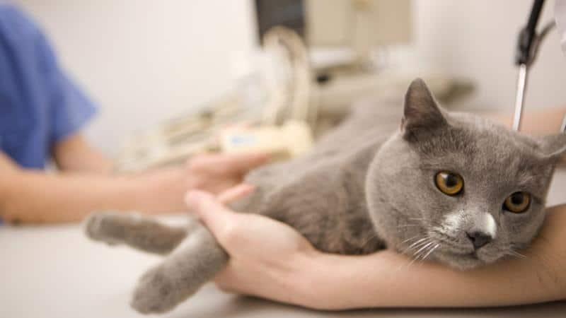 передается ли чесотка от человека кошке