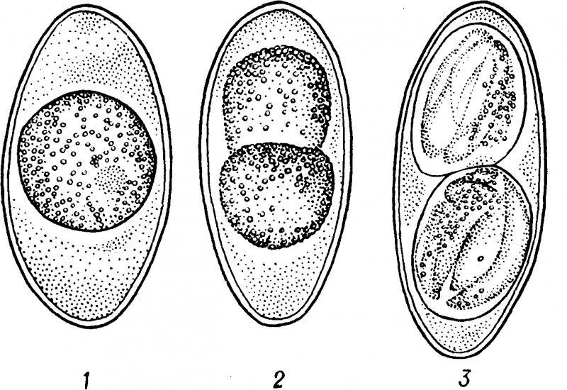 цикл развития кокцидий