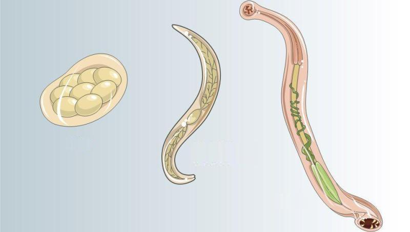 Ancylostoma duodenale: що це таке кривоголовка у людини, нематода дуоденале » журнал здоров'я iHealth