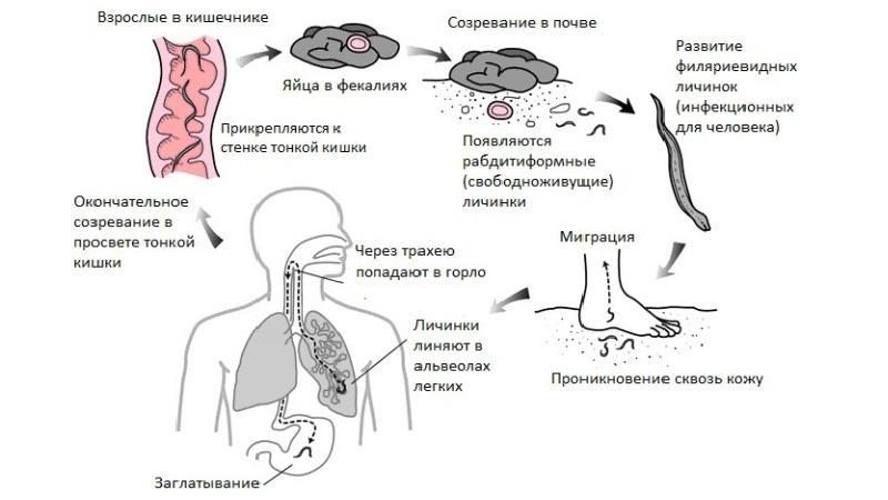 пути заражения анкилостомозом