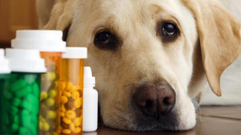 анкилостома у собак лечение