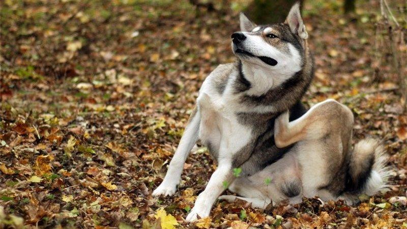 лечение чесоточный клещ у собак