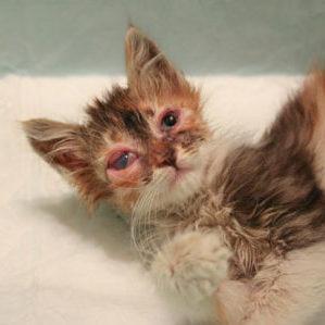 хламидиоз у котят симптомы и лечение