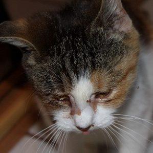 лечение хламидиоза у кошек схема лечения