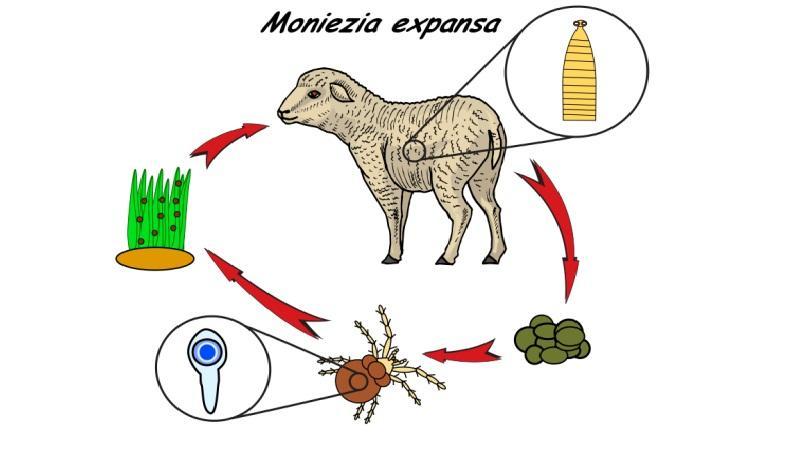 мониезиоз жвачных животных
