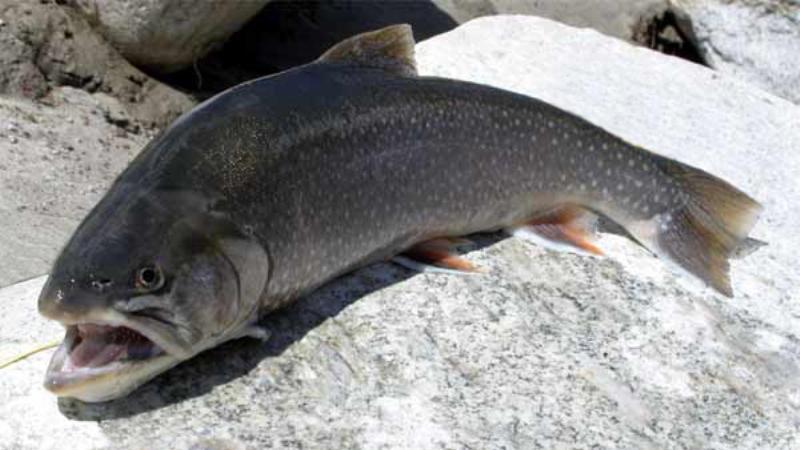 Нанофнетоз: фото в рибі, симптоми і лікування nanophyetus salmincola » журнал здоров'я iHealth 1