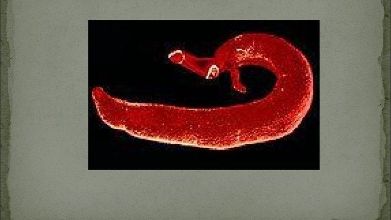 жизненный цикл paragonimus westermani