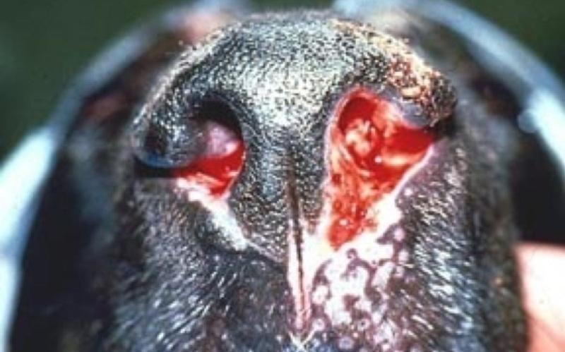 аспергиллез животных