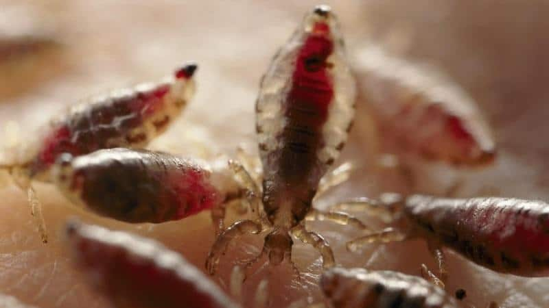 по характеру питания вши являются наружными паразитами