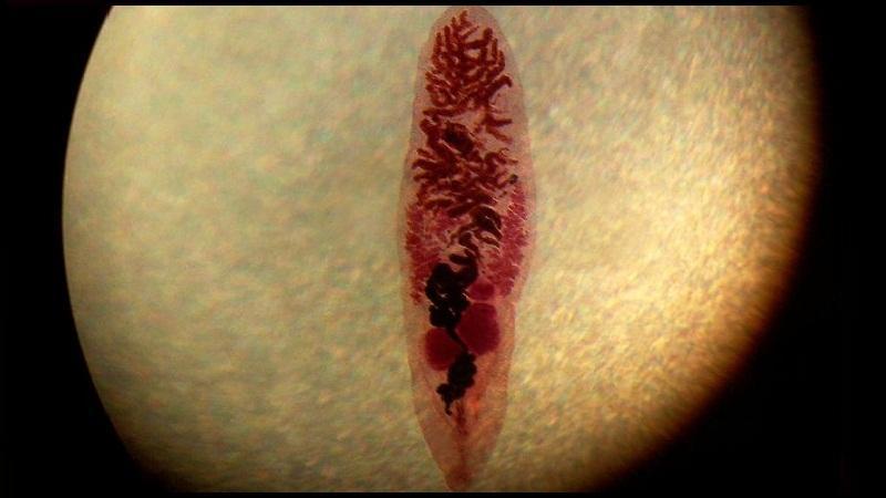 дикроцелиоз жвачных животных