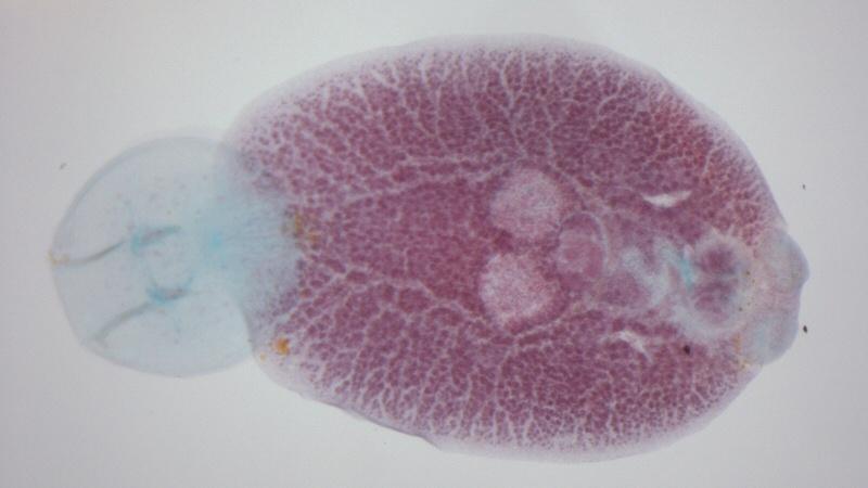 краткая характеристика моногенеи