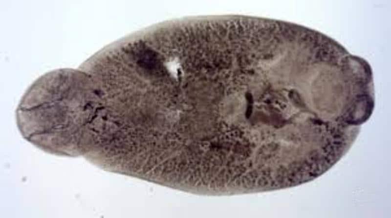 моногенеи представители