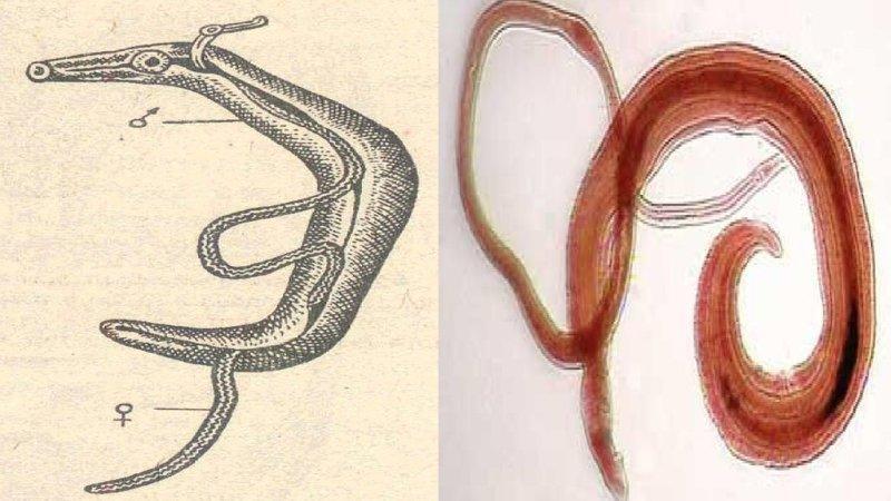 кровяной сосальщик паразитирует в кровеносных сосудах