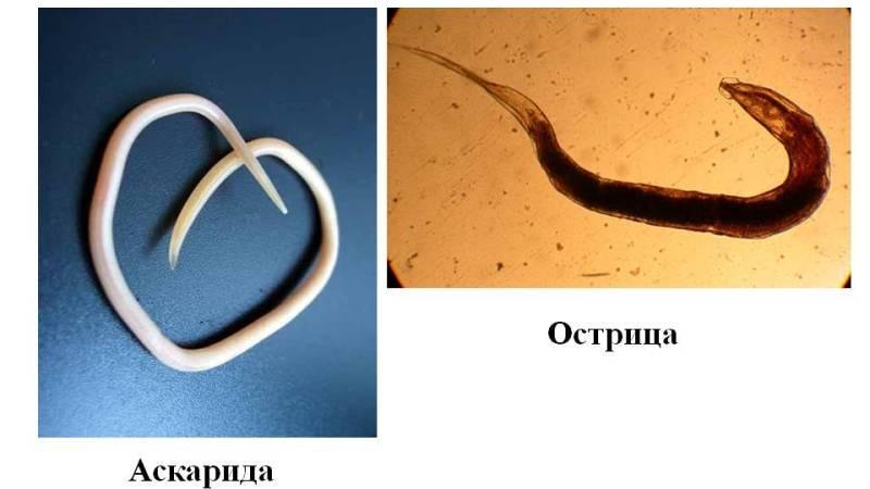 Нематоды или круглые черви