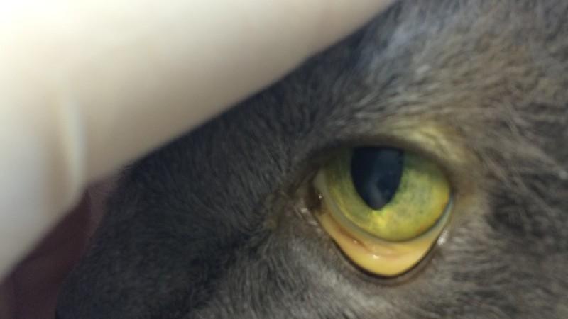 лептоспироз у кошексимптомы и лечение