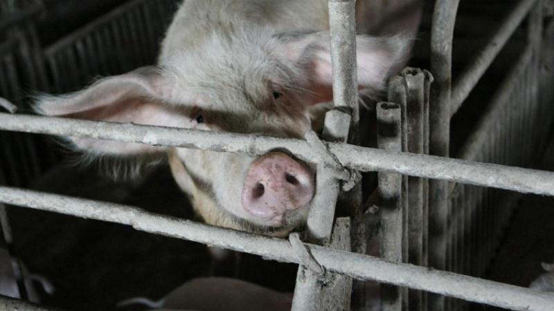 вакцина противлептоспироза свиней