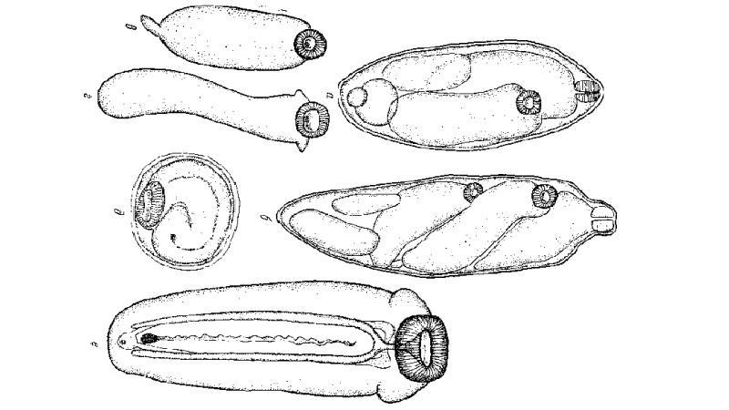 метагонимоз рыб