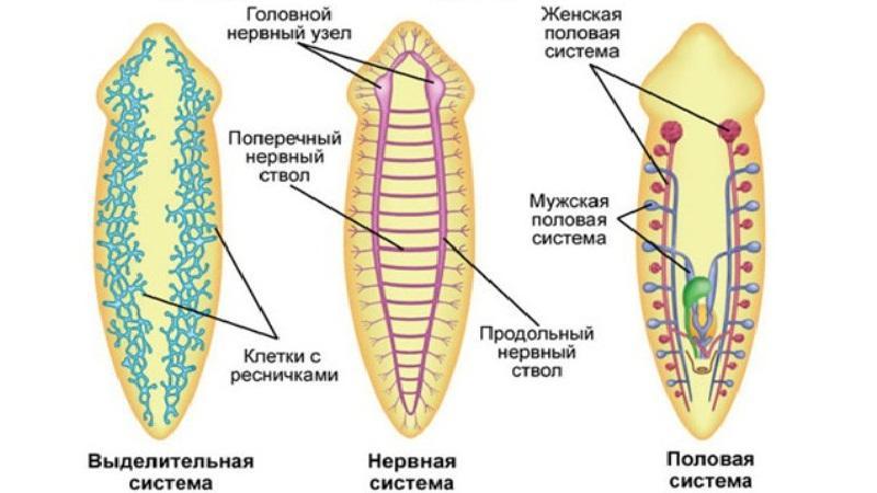 Молочно-біла планарія:фото що це таке, будова та розмноження » журнал здоров'я iHealth