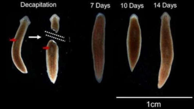 Молочно-біла планарія:фото що це таке, будова та розмноження » журнал здоров'я iHealth 2