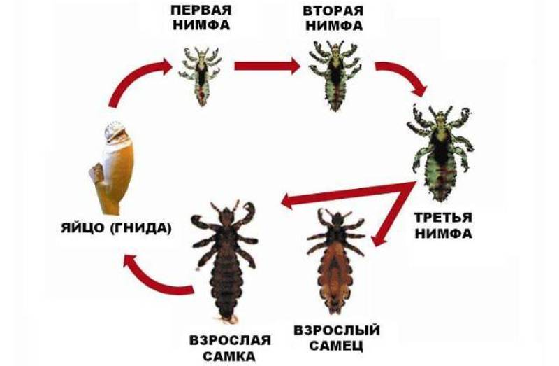 период размножения вшей сроки