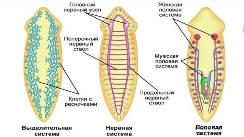 турбеллярии